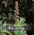 ACANTHUS mollis  
