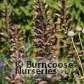 Small image of ACANTHUS
