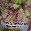 ACER cappadocicum 'Rubrum' 