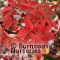 Very large Acer griseum - save £40.00 until end of April