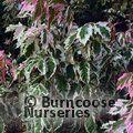 ACER negundo 'Flamingo' 