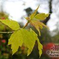 ACER negundo 'Kellys Gold' 