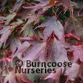 ACER palmatum 'Atropurpureum' 
