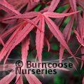 ACER palmatum 'Beni Otake' 