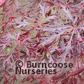 ACER palmatum dissectum 'Garnet'