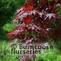ACER palmatum 'Fireglow' 