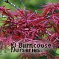 ACER palmatum 'Red Pygmy' 