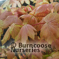 ACER pseudoplatanus 'Brilliantissimum' 