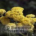 ACHILLEA 'Moonshine'  