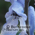 Small image of ACONITUM