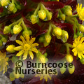 Small image of AEONIUM
