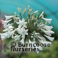 AGAPANTHUS africanus 'Albus' 