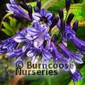 AGAPANTHUS 'Black Pantha'  