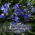 AGAPANTHUS 'Lilliput'  