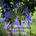 AGAPANTHUS umbellatus 'Blue Giant' 