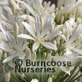 AGAPANTHUS umbellatus 'White Ice' 