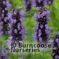 AGASTACHE 'Blackadder'