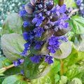 AJUGA   
