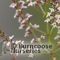 Small image of LIPPIA - see ALOYSIA
