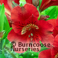 ALSTROEMERIA 'Princess Kate'