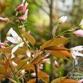 AMELANCHIER   