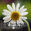 Small image of ANTHEMIS