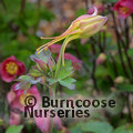 AQUILEGIA 'Yellow Star'