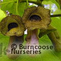 Small image of ARISTOLOCHIA