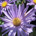 ASTER frikartii 'Monch'   