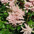 ASTILBE 'Peach Blossom'  