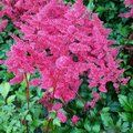 ASTILBE 'Vesuvius'  
