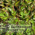 Small image of ASTILBE