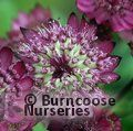 Small image of ASTRANTIA