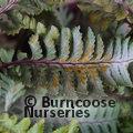 HARDY FERNS Athyrium niponicum var. pictum 'Silver Falls'
