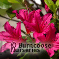 AZALEA - EVERGREEN 'Hino-crimson'  