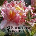 AZALEA - DECIDUOUS 'Berryrose'  