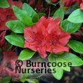 AZALEA - EVERGREEN 'Geisha Orange'