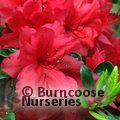 AZALEA - EVERGREEN 'Hino Scarlet'  
