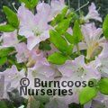 AZALEA - EVERGREEN 'Irohayama'  