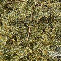 AZARA microphylla 'Variegata' 
