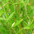 BAMBOO Phyllostachys aureosulcata 'Spectabilis'