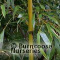 BAMBOO Phyllostachys flexuosa 