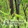 BAMBOO Phyllostachys nigra 