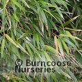 BAMBOO Yushania anceps  