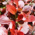 BERBERIS thunbergii 'Atropurpurea-nana' 