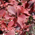 BERBERIS   