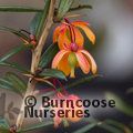 BERBERIS x lologensis 'Apricot Queen'  