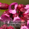 BERGENIA cordifolia 'Purpurea' 