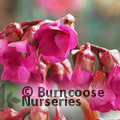 Small image of BERGENIA