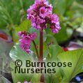 BERGENIA 'Sunningdale'  